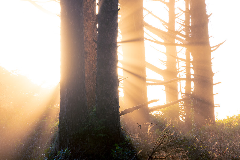 Kalaloch, Beach 1 - Sun setting behind clump of trees with very bright crepsecular rays