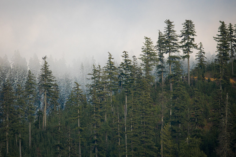 Snoqualmie Pass, Gold Creek Pond - Stand of tall green trees with snow covered trees behind