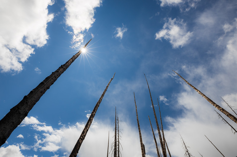 Pasayten, Horseshoe Basin - Looking up at burned tree trunks with sun star, wide angle