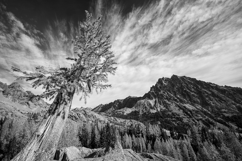 Stuart, Ingalls - Unusual old larch tree on a cliff with Mt. Stuart, black and white