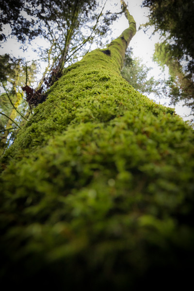 Snohomish, Lord Hill - Looking up the moss covered trunk of a tall oak tree
