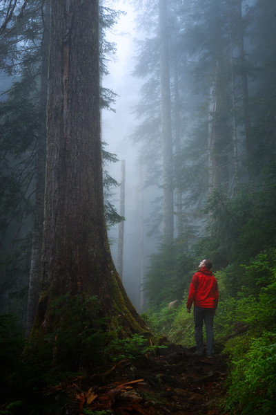 Verlot, Independence Lake - Man walking on trail next to old growth tree in fog
