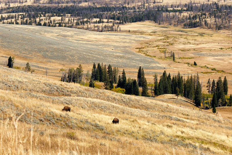 Yellowstone, Wildlife - Two bison grazing on a golden hillside with distant forest