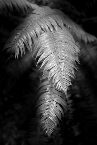 Hoh, Rainforest - Black and white view of ferns growing in forest