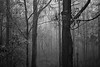 Queensland, Daisy Hill - Rainforest in black and white