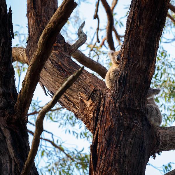 Victoria, Great Ocean Road - Two wild koalas in a tree