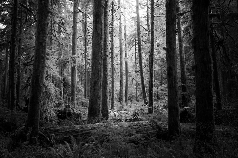 Rainier, Carbon River - Bright old growth forest meadow surrounded by dark trees, black and white