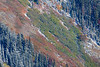 Rainy Pass. Maple Pass - Colorful autumn hillside bookended by snow covered trees