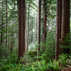 Verlot, Perry Creek - Tall trees and ferns in the fog