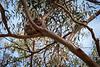 Victoria, Great Ocean Road - Wild koala resting head in tree