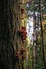 Lake Crescent, Lake - Orange shelf mushrooms on side of large Douglas Fir
