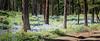 Kittitas, Watts Canyon - Large stand of lupine amongst tall trees alongside road