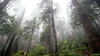 North Cascades, Thornton Lakes - Foggy forest with two snags and trees reaching into the clouds