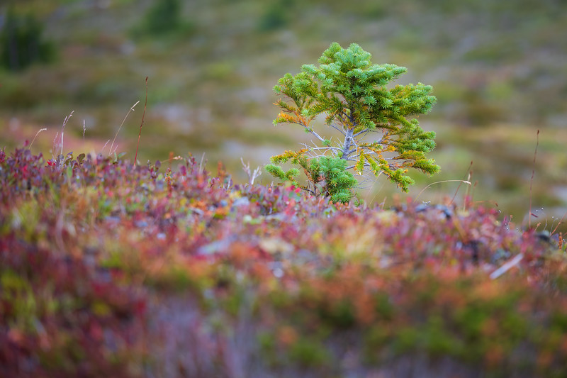 Whatcom, Winchester Mountain - Small evergreen tree emerging surrounded by red bushes