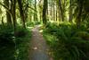 Quinault, Rainforest - Path through tall trees in rainforest