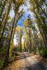 Kittitas, Cle Elum - Road through tall trees starting to turn yellow