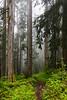 Verlot, Perry Creek - Trail through tall trees in the fog