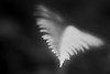 Woodinville, Paradise Valley - Macro abstract of tip of a fern, black and white
