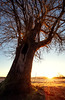 Redmond, Marymoor - Sunrise over field with single big tree in foreground