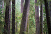 Quinault, Rainforest - Cluster of trees with one leaning tree