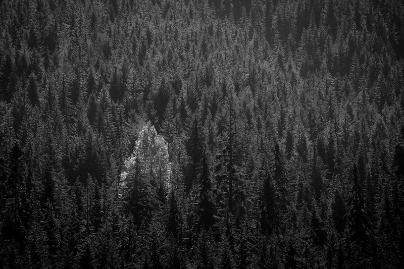 Snoqualmie Pass, Gold Creek Pond - One deciduous tree in forest of conifers, bw