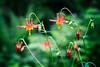 Verlot, Perry Creek - Close up of red Columbine flower