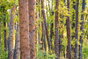 Kittitas, Cle Elum - Thick forest of tree trunks and new fall color