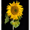 FRAMED SUNFLOWER by John Allen