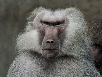 HDR of Baboon from the Tierpark Hellabrunn, Munich, Germany.