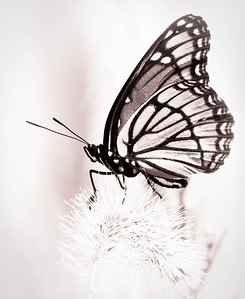 Viceroy Butterfly  08 06 09  036 - Edit
