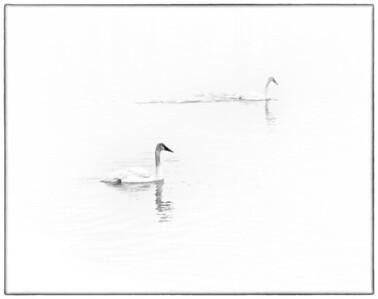 Trumpeter Swan  02 20 10  011 - Edit-2 - Edit - Edit