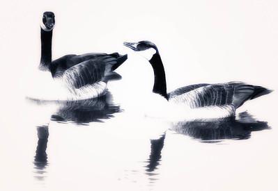 Canada Goose  03 05 09  103 - Edit - Edit