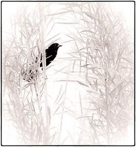 Red-winged Blackbird  06 08 08  002 - Edit
