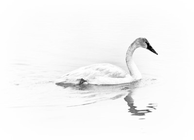 Trumpeter Swan  02 20 10  014 - Edit-3