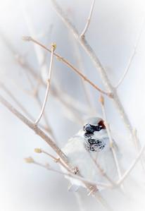 House Sparrow  12 25 08  001