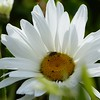 DAISY by Pam Marsh