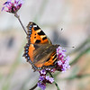 SMALL TORTOISESHELL by Bob Millar