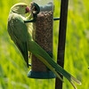 ROSE RINGED PARAKEET by Bob Millar