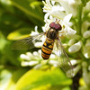 HOVER FLY by Carroll Gifford