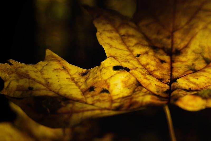 Golden Maple Lead