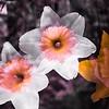 © 2015 Myrna Walsh -- Daffodils