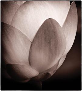 American Lotus  08 17 10  063 - Edit - Edit-5