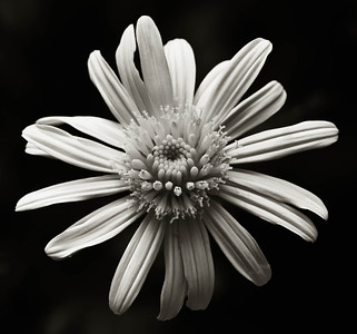 Bush Daisy  08 14 10  028 - Edit