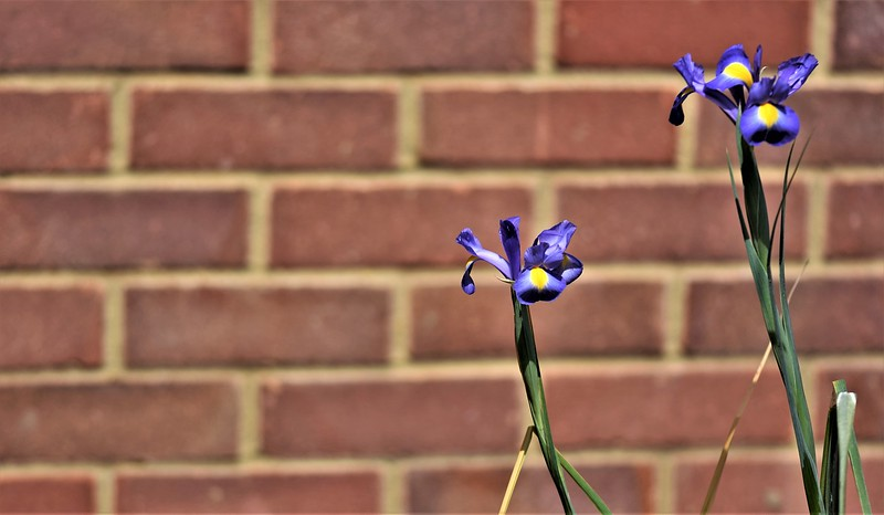 IRIS by COLIN WRIGHT