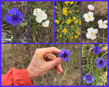 The Boise foothills are blooming with a variety of wild flowers.