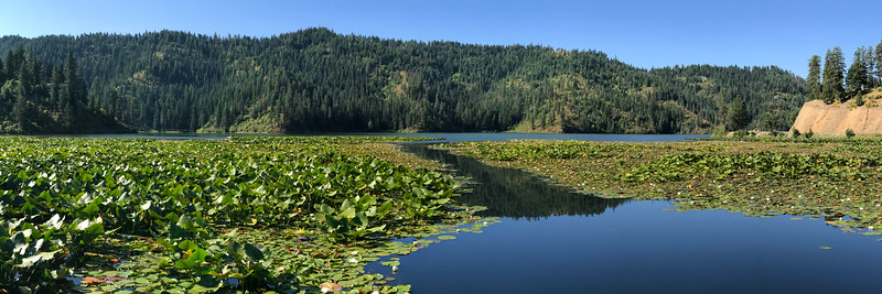 The water lilies of Fernan Lake were in fine form on the morning of our huckleberry hunt.