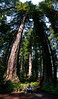In the Lady Bird Johnson grove in Redwood National Park. Redwoods are impressive trees but difficult subjects. Photographs rarely convey their sheer size and they are difficult to frame. This shot was constructed from four horizontal hand held shots using an 18mm lens on a 1.5 crop DSLR. The panorama software had to break verticals to match features. The figure in the foreground is about ten meters away and the tops of the trees are around 100 meters.