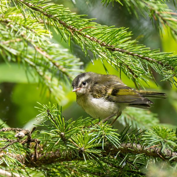 Male Pine Siskin