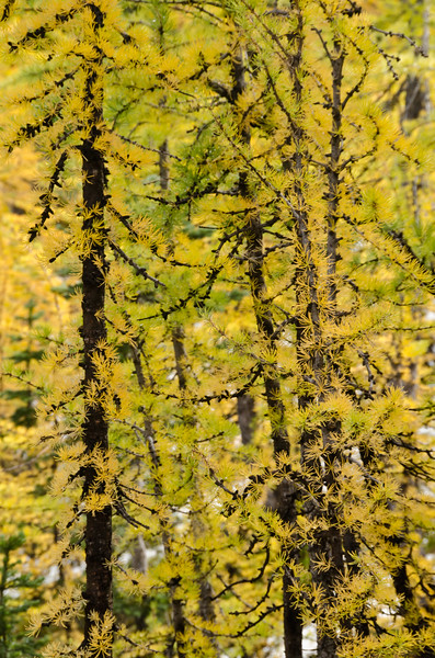 Alpine Larches In Fall Colours