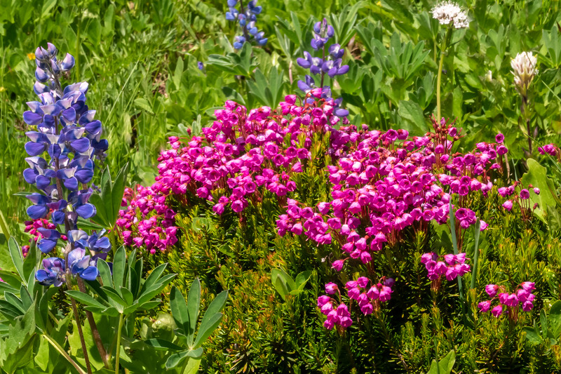 Pink Mountain Heather and Lupine
